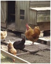 How To Clean And Disinfect Your Chicken Coop (without Chemicals