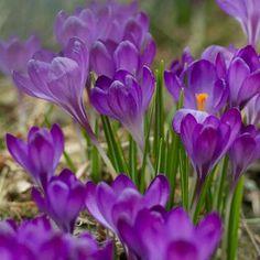 CROCUS tommasinianus 'Ruby Giant'  (Crocus) : Originaires des régions élevées d'Europe Méridionale. Elles apprécient les emplacements ensoleillés ou mi-ombragés et tout type de sol bien drainé.  Cette petite vivace se développe en touffe. Elle produit début mars, 1 à 2 fleurs fines, violet,rouges pourpré, mesurant 2 à 5cm de long.