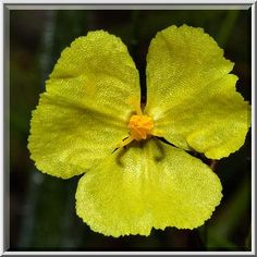 Ruffled petal lobes of yellow flower of fringed puccoon flowers with two petals 17 best images about petals three petals on pinterest mightylinksfo