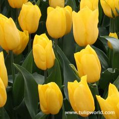 Golden Apeldoorn Yellow Tulips 35 bulbs for front and back yard Yellow Spring Flowers, Yellow Tulips, Spring Plants, Spring Bulbs, Bulb Flowers, Tulips Flowers, Planting Tulips, Indoor Flowering Plants, Best Perennials