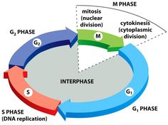 Crash course a youtube channel that covers a wide variety of cell cycle ccuart Gallery