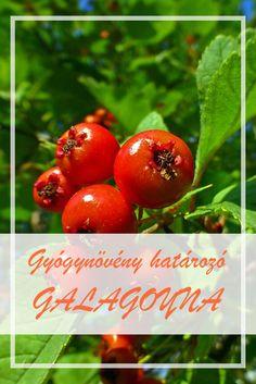 A Galagonya népies neve:  Gelegenye, fehértövis, Isten gyümölcse, cseregalagonya.  Hogyan gyűjtsük a Galagonya gyógynövényt?  A növény – Crataegi summitas – virágos leveles ágvégét, hajtásvégét használják gyógyászati célra. Health 2020, Home Remedies, Herbalism, Drinking, Spices, Herbs, Fruit, Eat, Healthy