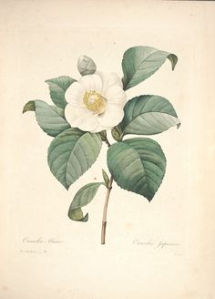 564f8ad6c9bd 11 Best Camellias images
