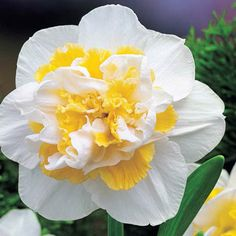 white lion double blooming daffodil