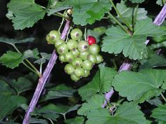 Currants starting to ripen. To order Life Is a Garden Party, go to WestBow Press. To read samples, click on http://lifeisagardenparty.blogspot.com