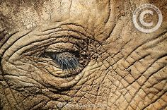 African elephant close up of face, Cabarceno, Spain by Steve Bloom
