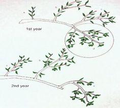 Best olive tree farm how to grow ideas Pruning Olive Trees, Pruning Fruit Trees, Tree Pruning, Simple Tree Tattoo, Tree Roots Tattoo, Arbequina Olive Tree, Tree Mural Kids, Tree Design On Wall, Bonsai Tree Tattoos