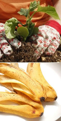Banana peel to fertilize rose bushes and help them resist diseases. Just flatten a banana peel and bury it under one inch of soil at the base of a rosebush. The peels potassium feeds the plant and helps it resist disease.works for tomato plants too. Organic Gardening, Gardening Tips, Gardening Shoes, Organic Horticulture, Vegetable Gardening, Growing Tomatoes, Growing Vegetables, Plantation, Lawn And Garden