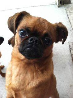This Petit Brabacon looks exactly like my dog, who I thought was a Chug (Chi/Pug). Maybe this is truly what she is....hmm.