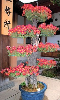 A very pretty, Japanese Bonsai. Bonsai Art, Bonsai Garden, Garden Plants, Ikebana, Wisteria Bonsai, Plantas Bonsai, Indoor Bonsai, Bonsai Seeds, Miniature Trees