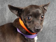 Petango.com – Meet Shandy, a 4 years 5 months Chihuahua, Short Coat available for adoption in COLORADO SPRINGS, CO. Shandy is a beautiful black female Chihuahua with the most amazing eyes. She is learning to walk on a leash and will need help with potty training. There are not enough words to describe Shandy. She is easy going, playful, friendly, curious, mellow, shy, just to name a few. She enjoys toys, quiet time snuggling and lots of love and attention. She gets along well with other…