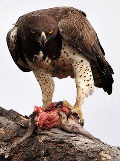 ~~ Martial Eagle ~~ of Prey Pretty Birds, Beautiful Birds, Animals Beautiful, Eagle Pictures, Bird Pictures, All Birds, Birds Of Prey, Nature Animals, Animals And Pets