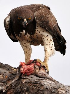 The Martial Eagle (Polemaetus bellicosus) is a large eagle found in open and semi-open habitats of sub-Saharan Africa.