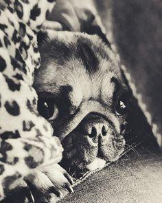 Lola Pug
