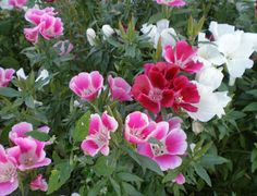 Godetia Crown Double Mix Annual Flowers, Flower Seeds, Permaculture, Compost, Garden Landscaping, Shrubs, Perennials, Bloom, Crown