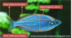 Diferencias sexuales del Melanotaenia Praecox - Neón Arcoiris en imágenes