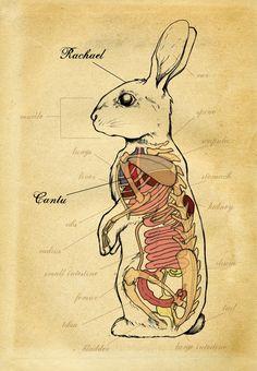 Rabbit Anatomy.