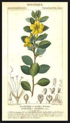Damiana: planta medicinal para depresión, infertilidad, astenia, cistitis o menopausa ecoagricultor.com