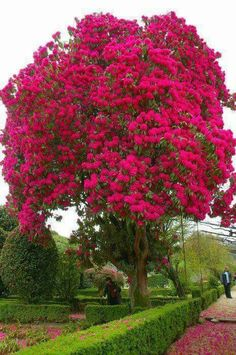 Rhododendron. A bush big enough to be a tree. Amazing and beautiful.
