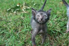Cute Creepy Lykoi Cats Look Like Miniature Werewolves