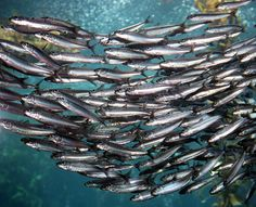 Clupeidae: herrings, shads, sardines, menhadens | Animal Diversity Web