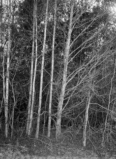 White gum trees - Bristol, Florida