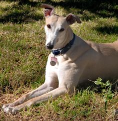 Learn More > Dogs > The Dog > Dog Breeds > Greyhound