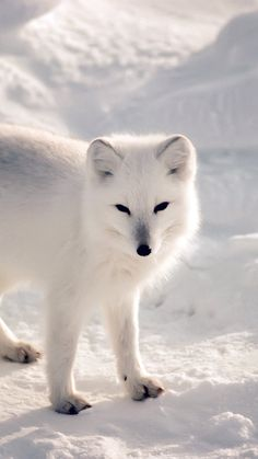 White Artic Fox Snow Winter Animal #iPhone #6 #plus #wallpaper