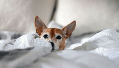 Chihuahua Breeds – Tips You Need To Know This small, spunky dog breed is famous for coining the phrase Yo Quiero Taco Bell. Who doesn't remember the commercials in which the Chihuahua e… Chihuahua Breeds, Chihuahua Puppies, Dog Breeds, Chihuahuas, Free Puppies, Small Dog Images, Small Dogs, Black Puppy, Shih Tzu Puppy