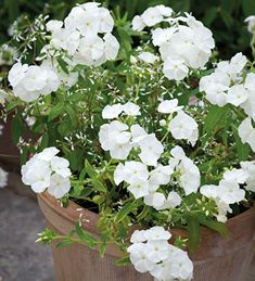 Urban Garden Phlox and Euphorbia Pot Collection - A great pairing for a pot with a powder-puff of light, airy flowers of Euphorbia dotted with the Phloxs' white saucer blooms. Long Flowers, Summer Flowers, Cut Flowers, Drawing Flowers, Flowers Garden, White Flowers, Container Flowers, Container Plants, Container Gardening
