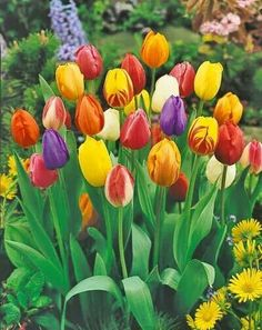 So lovely...nice colors...awesome tulips!