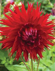 Dahlia Fringed Red Dahlias Apache