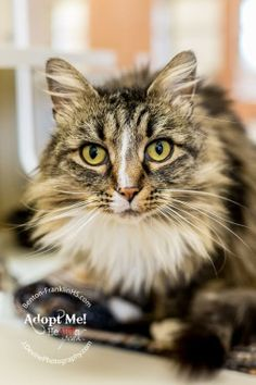 Lola is a Domestic Long Hair Mix in Kennewick, WA! She needs a new forever home!