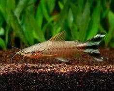 """Flagtail Catfish, Dianema urostriata.  An active, attractive catfish for your aquarium.  Grows to approximately 4""""."""
