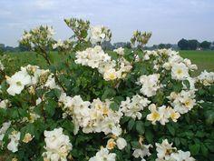 Rosa Sally Holmes www.rozenrijk.nl