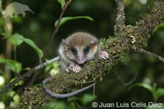 EDGE :: Mammal Species Information