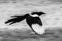 Magpie in Wasagaming in Riding Mountain National Park, Manitoba.