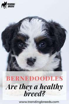 Bernedoodles are a cross between the Bernese Mountain Dog and the Poodle. They have what is called 'hybrid vigor'. But do they still have health issues? What health problems are they prone to?