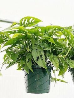 "Monstera Adansonii 8"" Hanging Basket Swiss Cheese House Plant Houseplant USA   eBay Swiss Cheese, Hanging Baskets, Houseplants, Herbs, Indoor, Usa, Fall Hanging Baskets, Interior, Indoor House Plants"