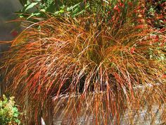 Prairie Fire Sedge (Carex testacea 'Prairie Fire') glimmers with shades of bronze and orange as if it were autumn all year round. The thin strands on this petit Perennial Grasses, Ornamental Grasses, Perennials, Planting Shrubs, Container Plants, Container Gardening, Landscape Design, Garden Design, Blue Fescue