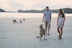Kangaroos on Beach: Mackay, Queensland, Australia