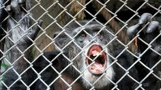 """The appeals court in New York state said caged chimpanzee Tommy could not be recognised as a """"legal person"""" as it """"cannot bear any legal duties"""".  The Nonhuman Rights Project had argued that chimps who had such similar characteristics to the humans deserved basic rights, including freedom.  The rights group said it would appeal."""