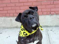 ~~CHARMING 2 YR OLD BOY TO BE DESTROYED 7/27/14~ Brooklyn Center - P  My name is LANDON. My Animal ID # is A1007257. I am a male black and white pit bull mix. The shelter thinks I am about 2 YEARS   I came in the shelter as a STRAY on 07/18/2014 from NY 11213, owner surrender reason stated was STRAY.   lw