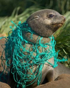Tangled up in blue: an Antarctic fur seal caught in a fishing net, South Georgia Island.