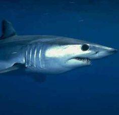 Mako shark TheWildAnimalStore.com