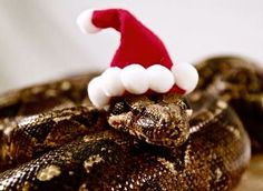 Pictures of cute snakes with hats that will make your day brighter. Not only that, you will know what is the best small pet snakes for beginner. Snakes With Hats, Kinds Of Snakes, Funny Christmas Hats, Christmas Animals, Merry Christmas, Best Small Pets, Animals And Pets, Cute Animals, Funny Animals