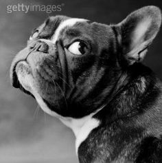 French Bouledogue. Just in case I need to get her in France!