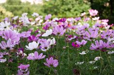 Kerti Pillangóvirág (Cosmos bipinnatus) gondozása, szaporítása (Lepkevirág) Balcony Garden, Cosmos, Flowers, Plants, Episcopal Church, Gardening, Balconies, Amazing Nature, Verandas