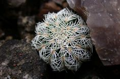 Lace Cactus (Echinocereus reichenbachii) uploaded by dave