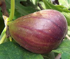 Brown Turkey Fig Tree Especially tasty, brownish-purple fruit produced twice a year - in late spring and late summer. Grows 5-8m tall and wide. Canadale Nurseries Ltd.